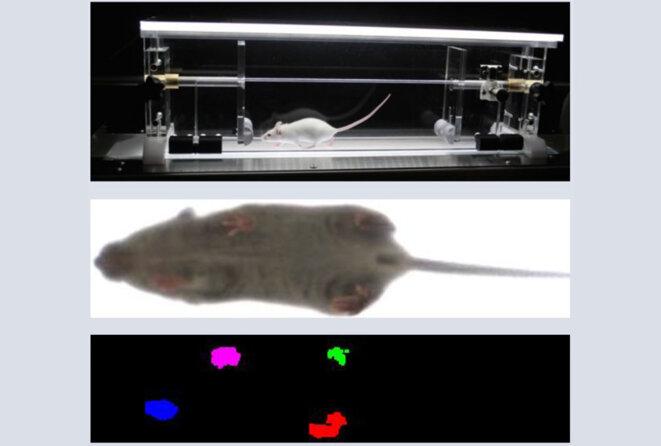 Grands pas : les souris modèles d'un trouble lié à l'autisme montrent un pas anormalement long dans la course.