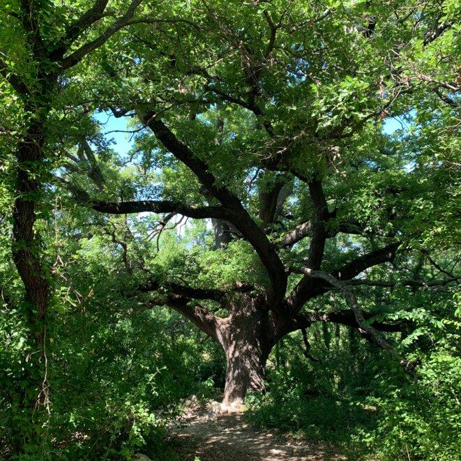 Ce chêne a 500 ans. Nos chaînes sont plus vieilles. © ET