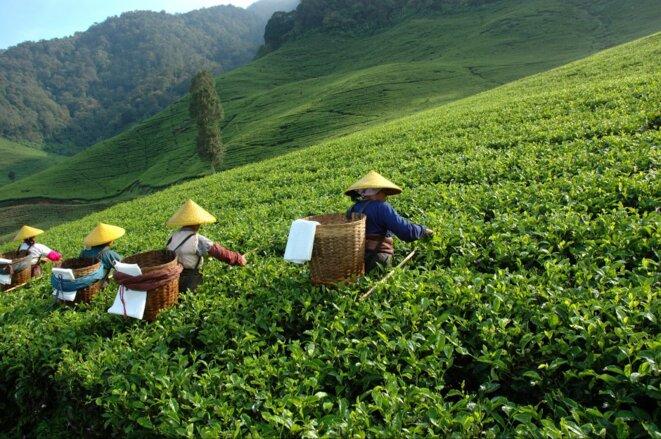 Un champ de thé dans la province d'Anhui, Chine
