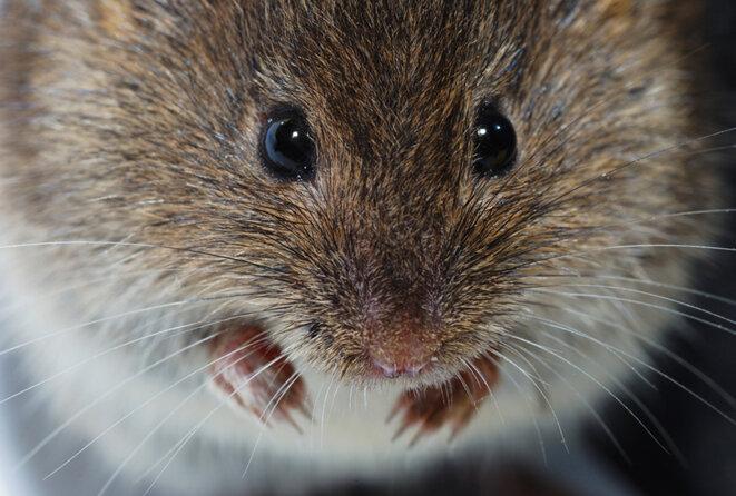 Stimulation des poils : les neurones qui répondent au mouvement des moustaches ne sont pas plus excitables chez les souris autistes que chez les contrôles © Thomas Eder / Shutterstock