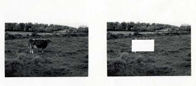 "Jan Groover, ""Cow Alone in a Empty Field"", 1972, Gelatin silver print, 20.3 × 25.4 cm. © Mus&e de l'Elysée, Lausanne Fonds Jan Groover"