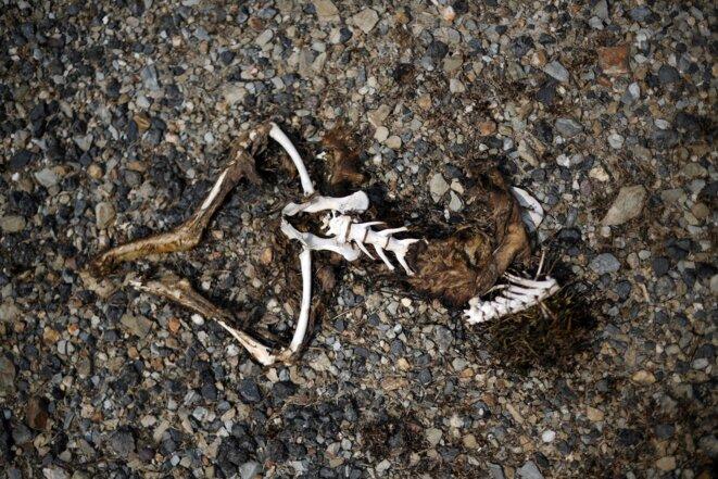 Squelette d'un kangourou photographié à Batlow, en Nouvelle-Galles du Sud, Australie, le 8.01.2020 (Saeed Khan/AFP).