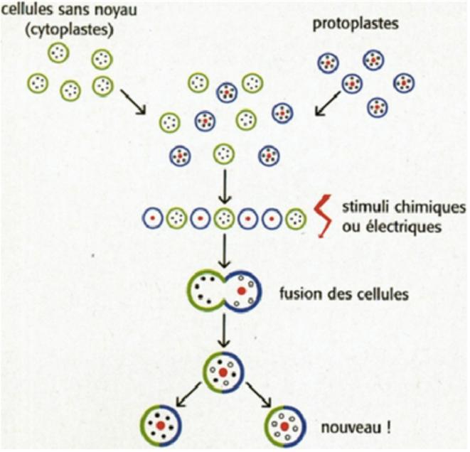 La technique de la fusion cellulaire © www.produire-bio.fr