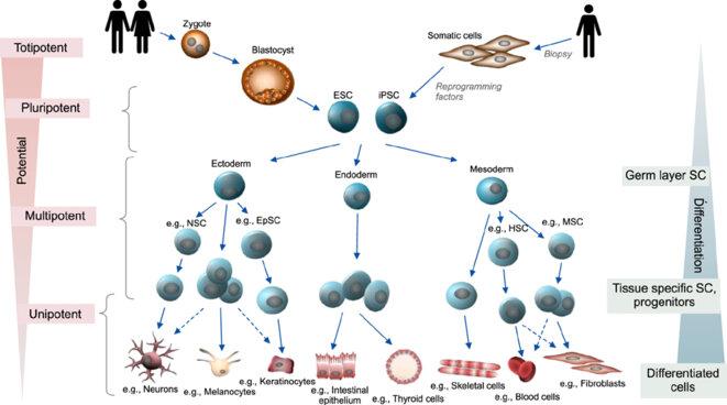 Cellules souches. La recherche utilise deux types de cellules pluripotentes (permettant de générer touts les types de cellules) : les cellules souches embryonnaires (ESC), issues d'un blastocyte (embryon d'une semaine) ou des des cellules souches induites (iPSC), reprogrammées à partir de cellules adultes. Les iPSC comportent cependant des modifications génétiques absente chez les ESC. @AnnalsofDermatology