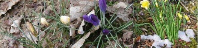 fleurs-jonquilles-premices-du-printemps
