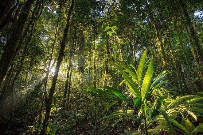 Ambiance de forêt guyanaise © Guillaume Feuillet