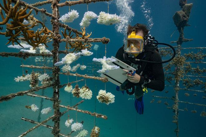 Le biologiste Yann Lacube du Criobe (Centre de Recherche Insulaire et Observatoire de l'Environnement) effectue des relevés sur les arbres à coraux. Il travaille sur le programme de Laetitia Hedouin sur les coraux résistants au réchauffement climatique. île de Moorea, Polynésie française. © Photo A. Rosenfeld