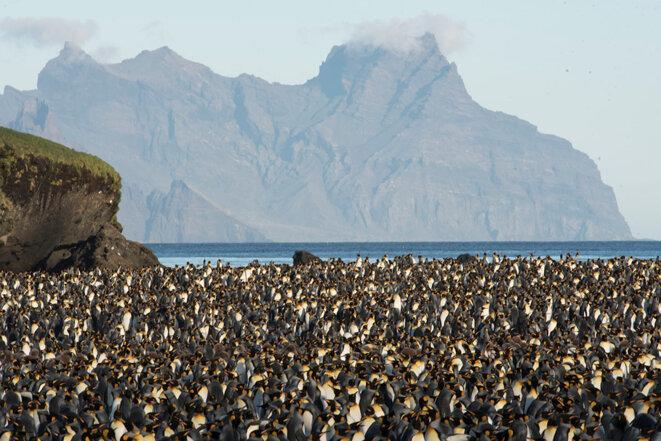 Colonie de manchots royaux dans la Baie du Marin, avec au fond l'île de l'Est, à Crozet. © Tanguy Deville