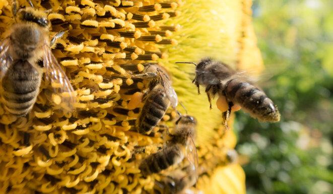 abeille mellifère © Christophe Gatineau