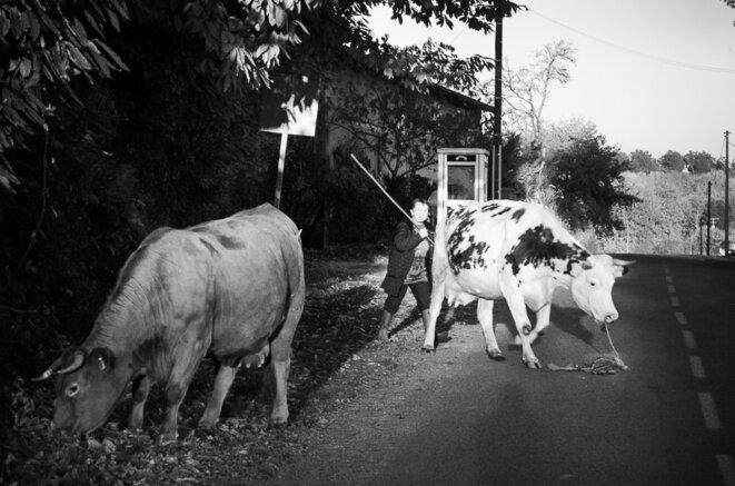 Dernières vaches nommées de mon village limousin. © Christophe Gatineau