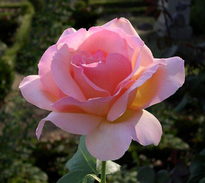 Rose-oliv sur wikimedia © Olegivvit