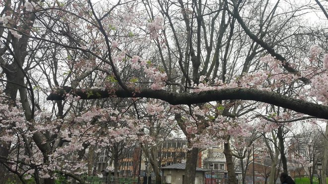 Cerisier en fleurs s'épanouissant en pleine pandémie de corona virus à Paris © Marjorie Milona
