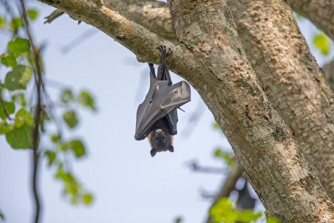 Une chauve-souris en Inde (réserve de Kabini). © AFP