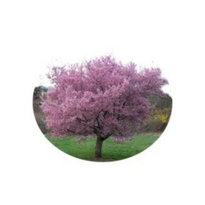 printemps-cerisier