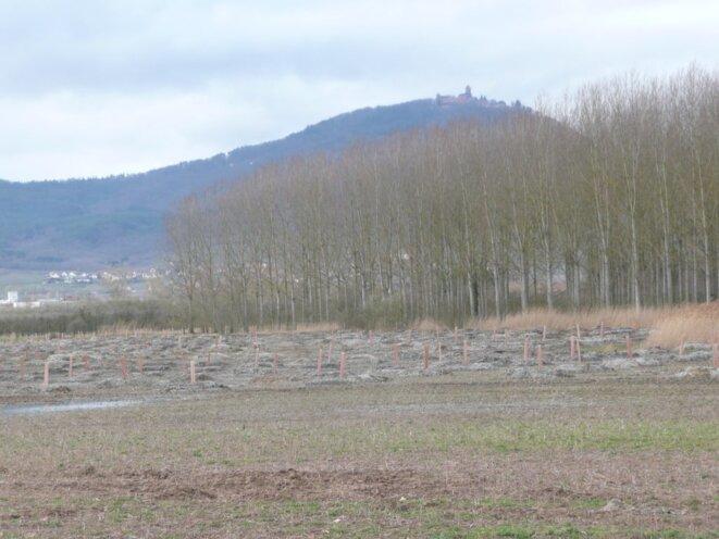 Bergeheim, 7ha de plantation pour compenser le GCO, garantie... 20 ans !! © GCO NON MERCI