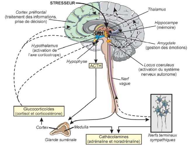 Physiologie du stress. © de Karasek M, INSERM