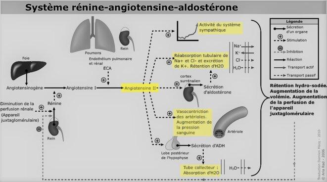 Système rénine-angiotensine-aldostérone © wikipedia