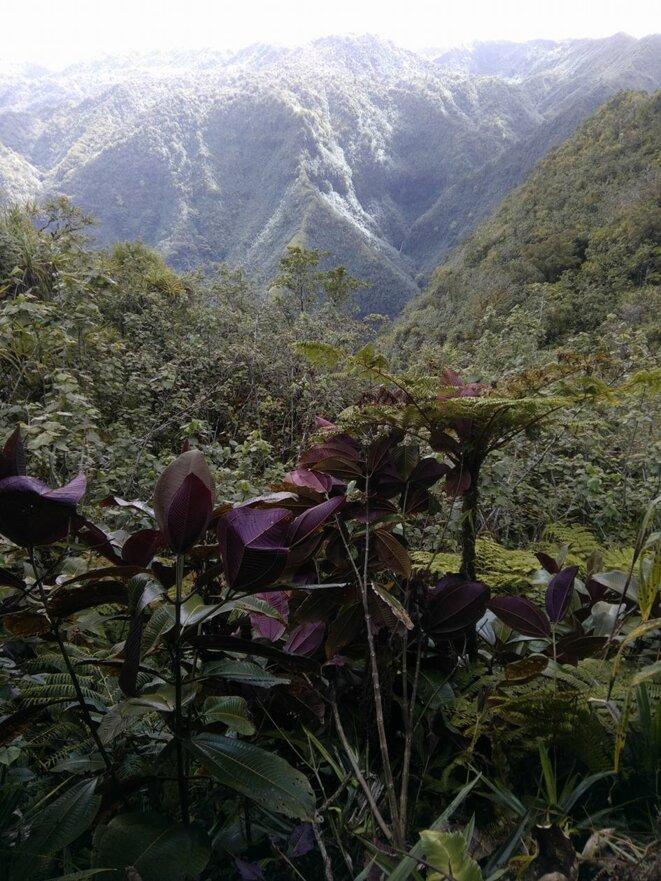 Myconia invasive originaire du Costa Rica