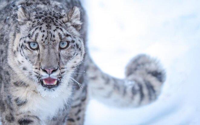 La vraie panthère des neiges. © WWF
