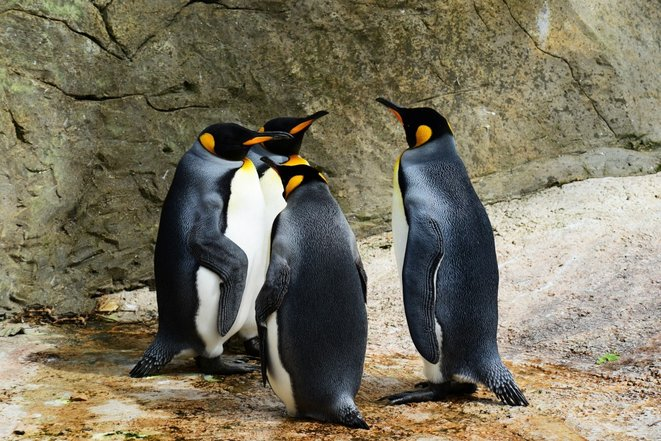26-avril-pingouins