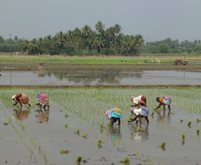 Repiquage du riz près de Pondichéry. (Est-ce faisable avec un masque ?) © F. Landy