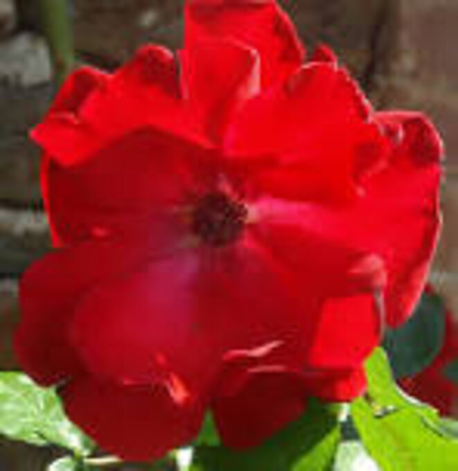 eglantine-rouge
