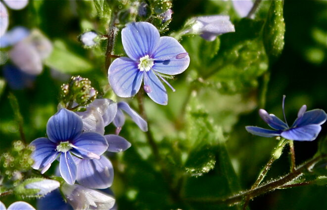 On est tous un peu fleur bleue © Patrice Morel (mai 2020)