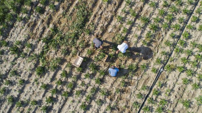 Le maraîchage comme patrimoine culturel à Neuville-sur-Oise (95) | La ville nouvelle de Cergy-Pontoise a pris 3000 hectares à l'agriculture. Il n'en reste qu'une centaine d'hectares. Avec une dizaine d'autres agriculteurs attachés à leur terroir, Laurent Berrurier fait revivre les légumes oubliés de la région parisienne comme le chou de Pontoise, l'asperge d'Argenteuil ou le navet de Croissy. © Arnauld Duboys Fresney