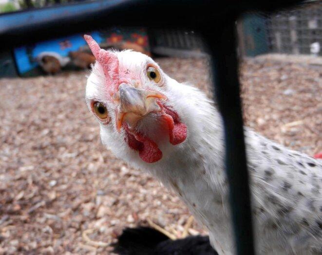 poule-3