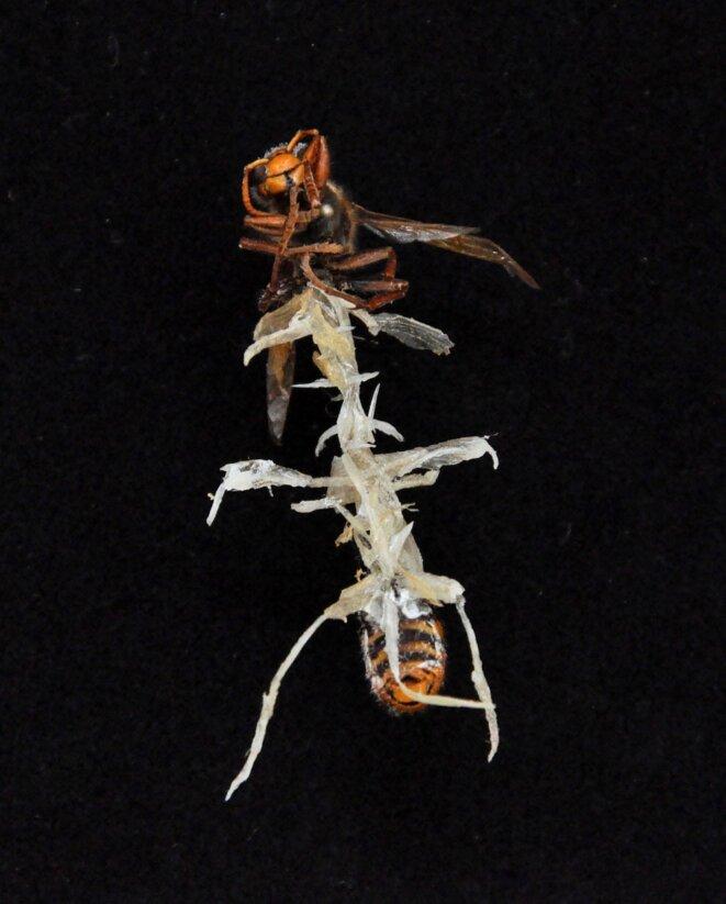 Lionel Sabatté, Extension d'une reine, 2013, Abeille reine, ongles, peaux mortes, épingle et boîte à spécimen, 26 x 19,5 x 7 cm (Photo Lionel Sabatté)