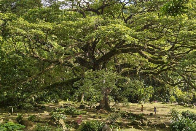 Zamama, Arbre à pluie, plantation Céron, Martinique