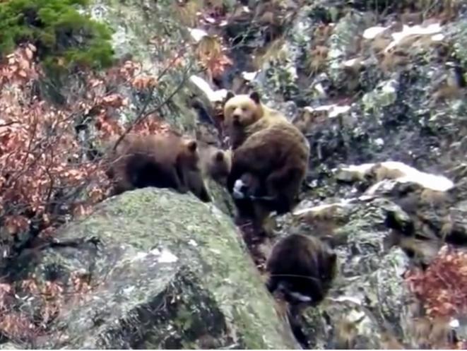 Bulle, Fifonet et Fosca (nés en 2015) © Pays de l'ours.com