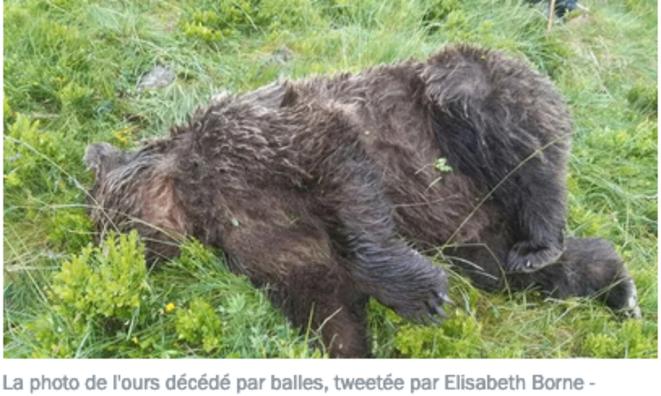 La photo de l'ours tué par balle dans l'Ariège, tweetée par Elisabeth Borne © francebleu.fr