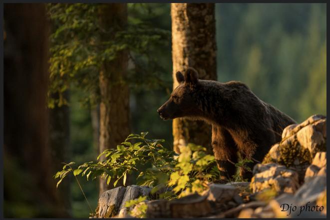 maman ours perfect ligth   Djo Djokkos © Djo Djokkos