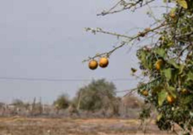 Citronniers à Al-Auja