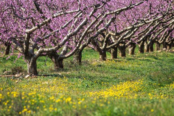 Champ d'abricotiers dans les Bouches-du-Rhône. © hemis.fr / AFP