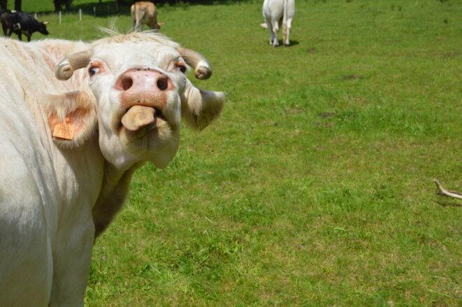 Bessie, la matriarche du troupeau de bovins