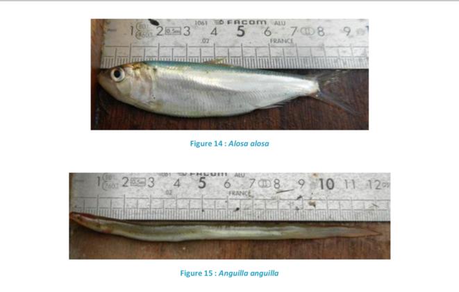 Grande alose et anguille piégées dans la prise d'eau de la centrale du Blayais (document interne d'EDF).