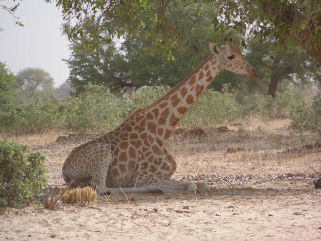 Les girafes de Kouré, une des principales attractions touristiques du Niger © P. Fimbel