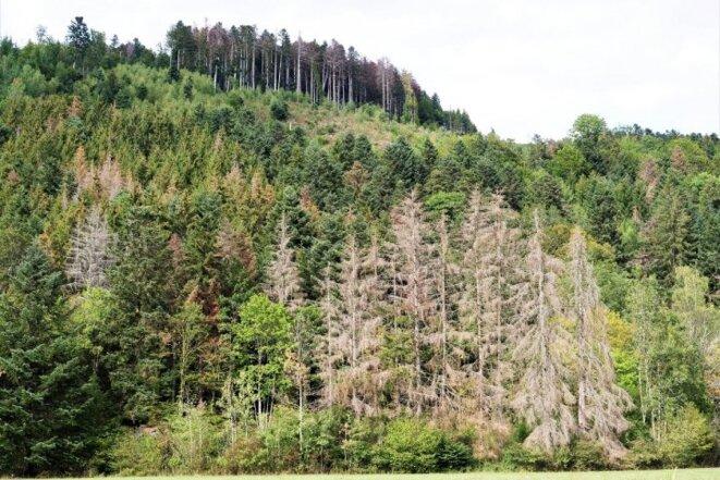 Dans les Vosges, épicéas et sapins meurent en masse et ce bois mort ne sert plus qu'à produire du combustible © Reporterre