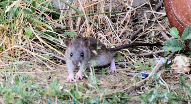 2020-08-10-rats-02