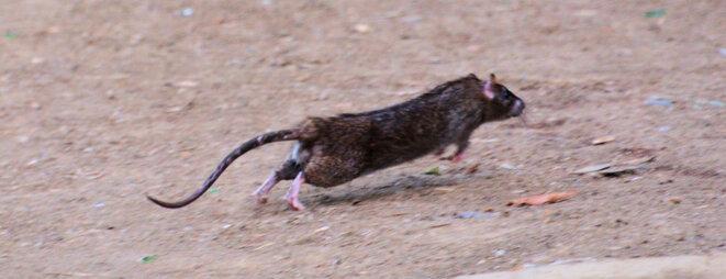 Rat sur le bidonville du Petit-Bois à Metz