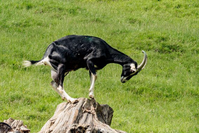chèvre baujue © plbillot