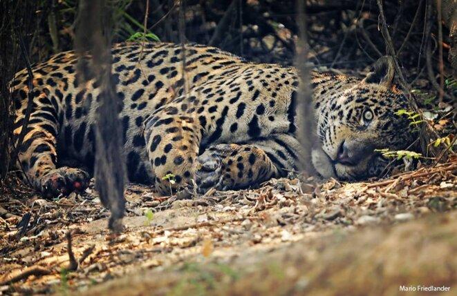 Jaguar prostré, avec les pattes brûlées. Photo du photographe et documentariste Mario Friedlander, Parque Estadual Encontro das Águas (Poconé, Mato Grosso), août 2020. L'auteur a autorisé la reproduction de l'image pour cet article.
