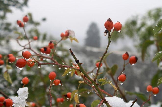 Le gratte-cul ou églantier sauvage ne craint pas l'hiver, même précoce © Patrice Morel (26 septembre 2020)