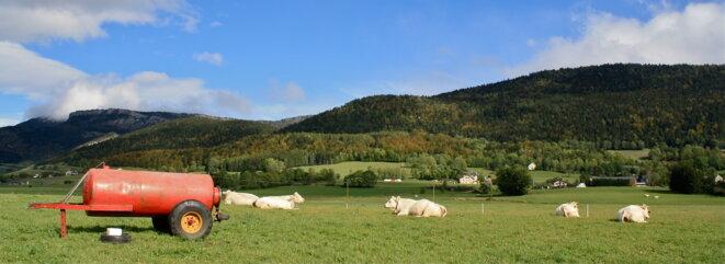 Vaches à l'aise © Patrice Morel (octobre 2020)