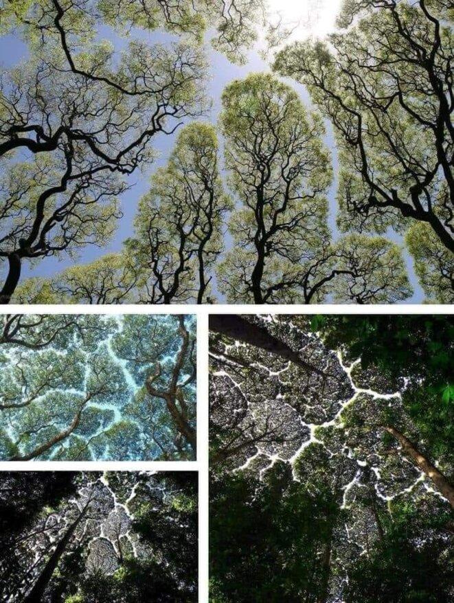 arbres-timides