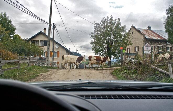 """Traversée de """"bisons"""" à Méaudre, Vercors © Patrice Morel (octobre 2020)"""