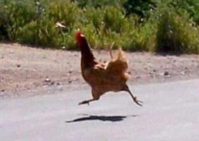 un-poulet-qui-travers-la-route