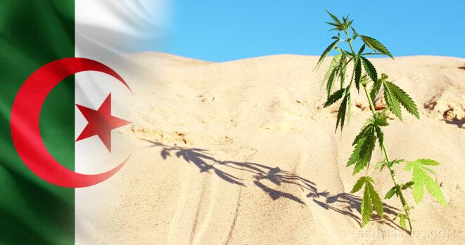 """© Blog de Sensi Seeds """"Le cannabis en Algérie – lois, usages et histoire"""""""